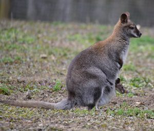 Benett - Känguru