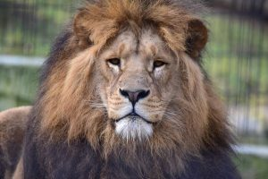 Nahaufnahme eines Löwenkopfs