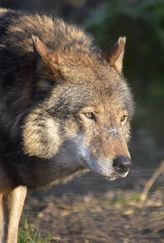 Nachaufnahme eines Wolfes