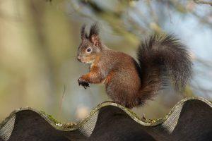 Eichhörnchen Foto: Johann Illich-Edlinger