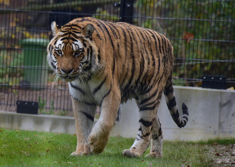 sibirischer tiger tierpark stadt haag. Black Bedroom Furniture Sets. Home Design Ideas