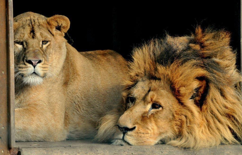 Löwe Tierpark Stadt Haag