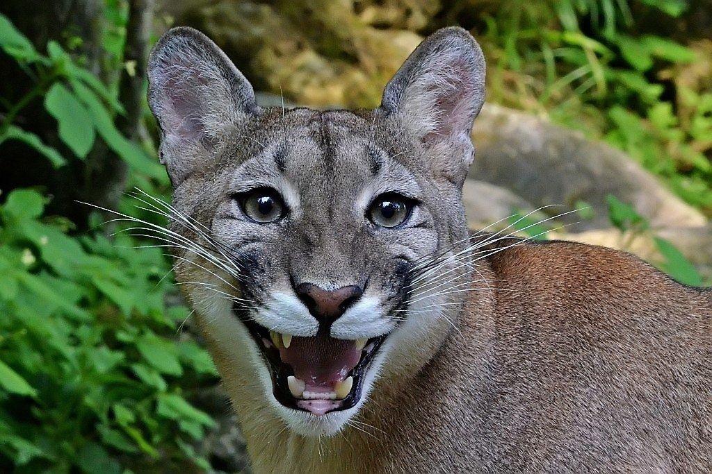 Puma Tiere