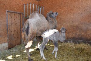 Kamelnachwuchs