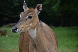 Tierpatenschaft Nilgau-Antilope Scarlett