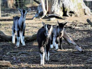Junge Ziegen © Tierpark Stadt Haag