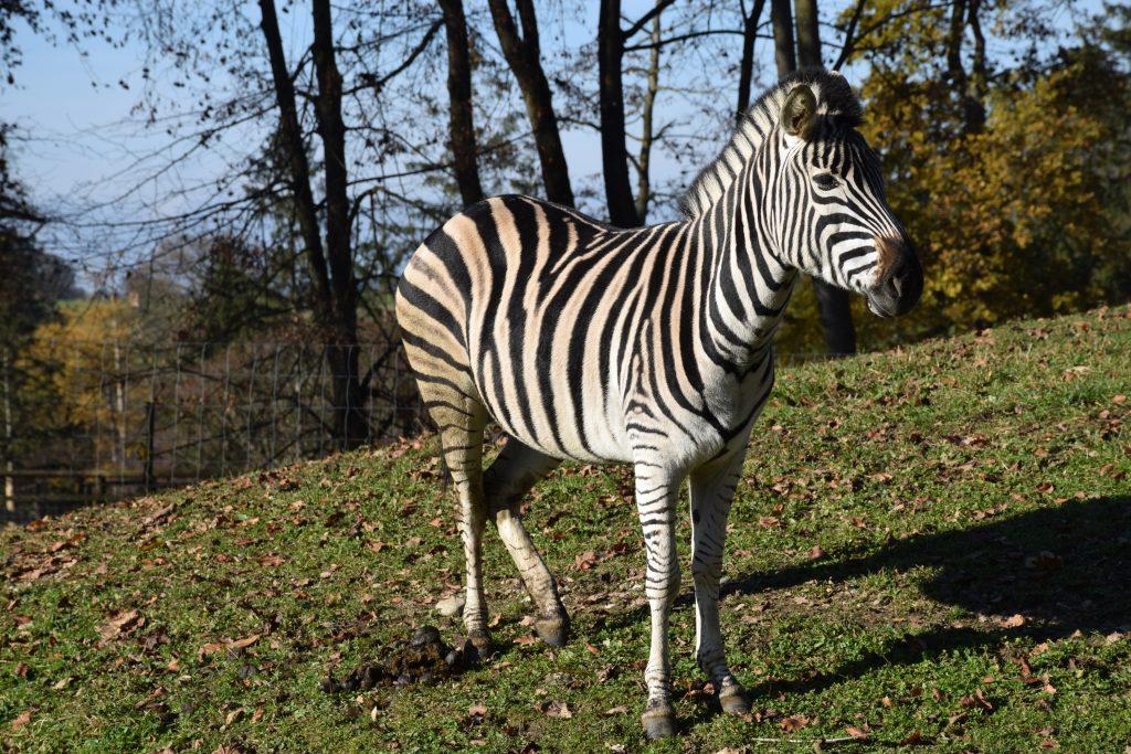 Chapman Zebra © Tierpark Stadt Haag
