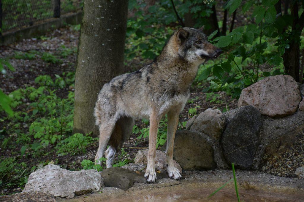 Wolf © Tierpark Stadt Haag