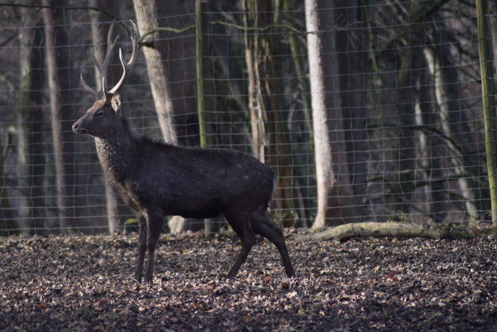 Sikawild © Tierpark Stadt Haag