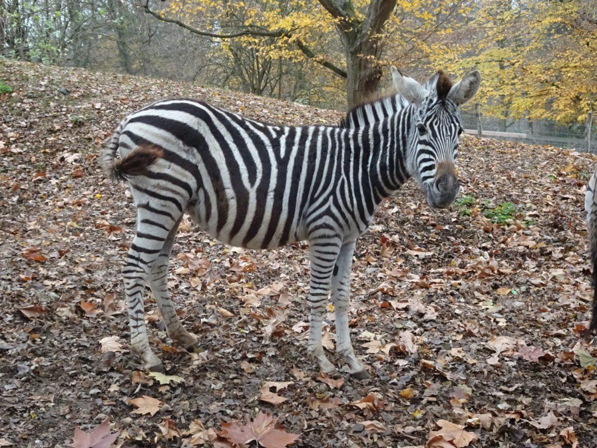 Tierpatenschaft Zebra Lilly