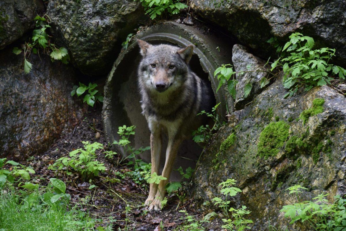 DSC_0103-wolf