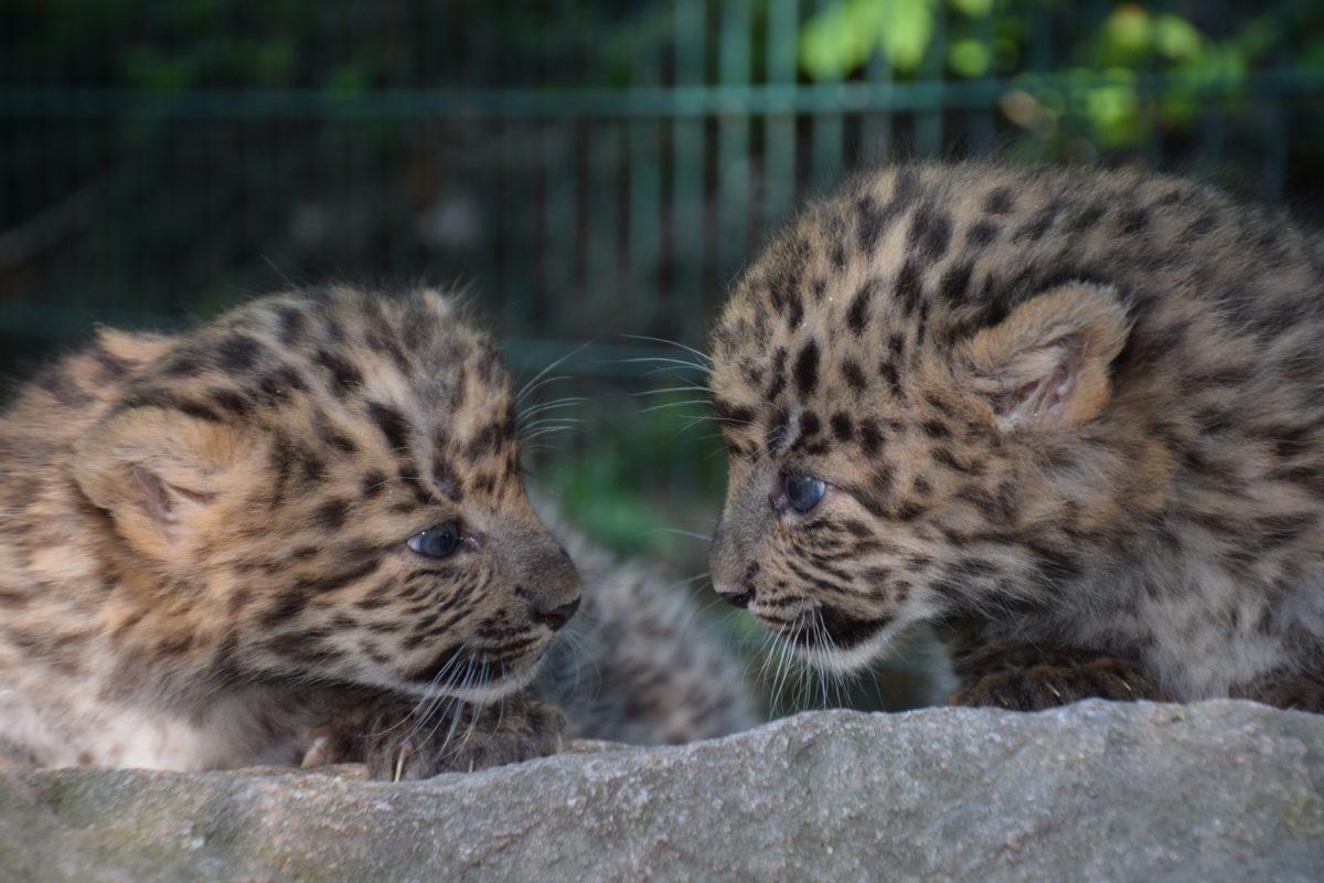 China-Leoparden-Nachwuchs