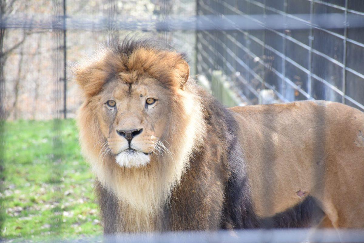 Löwe Massai