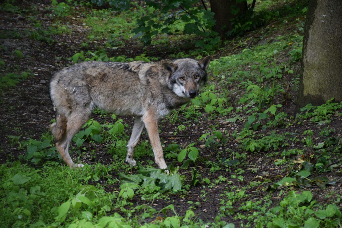 Patenschaft Wölfin Lakota