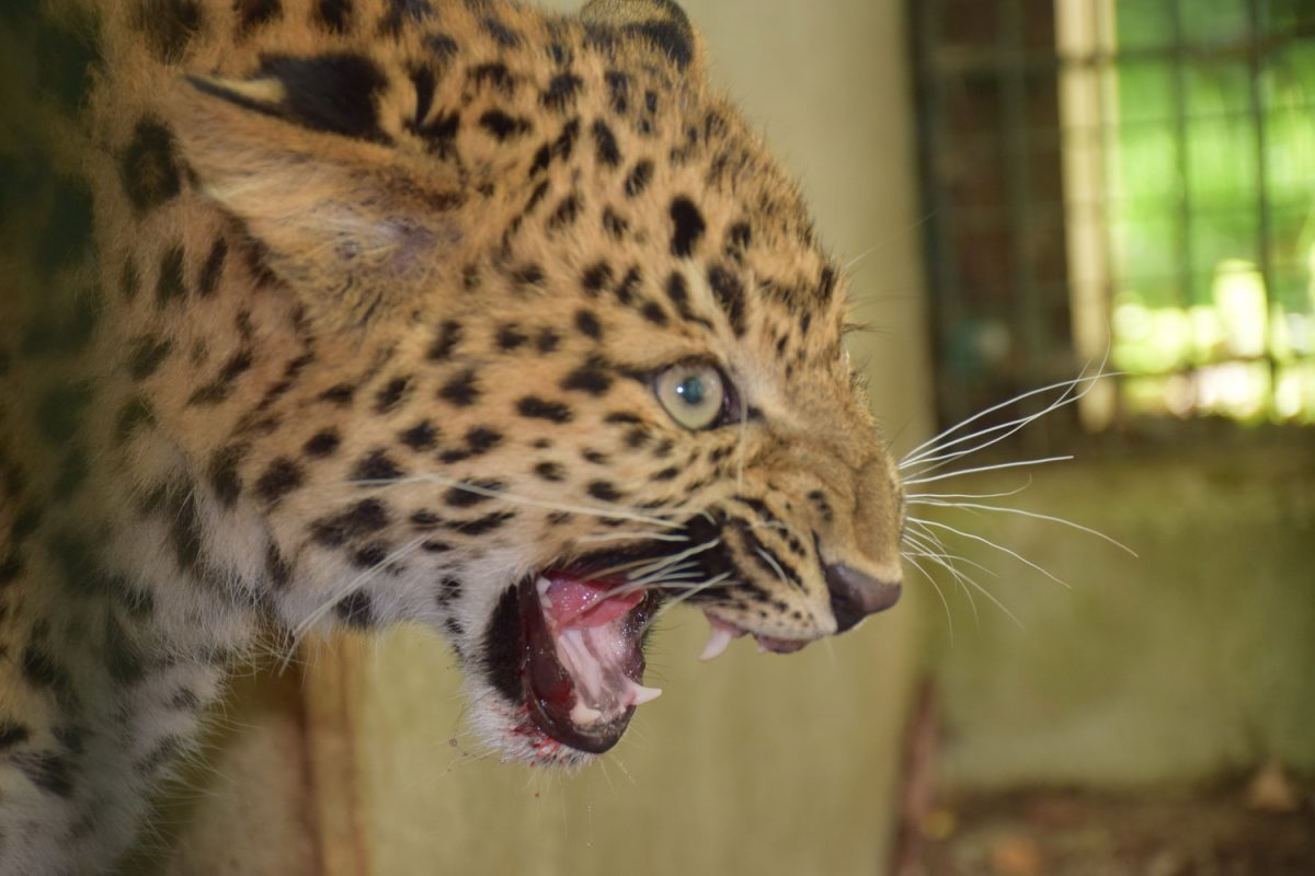 Namensgebung Leopard Amadou