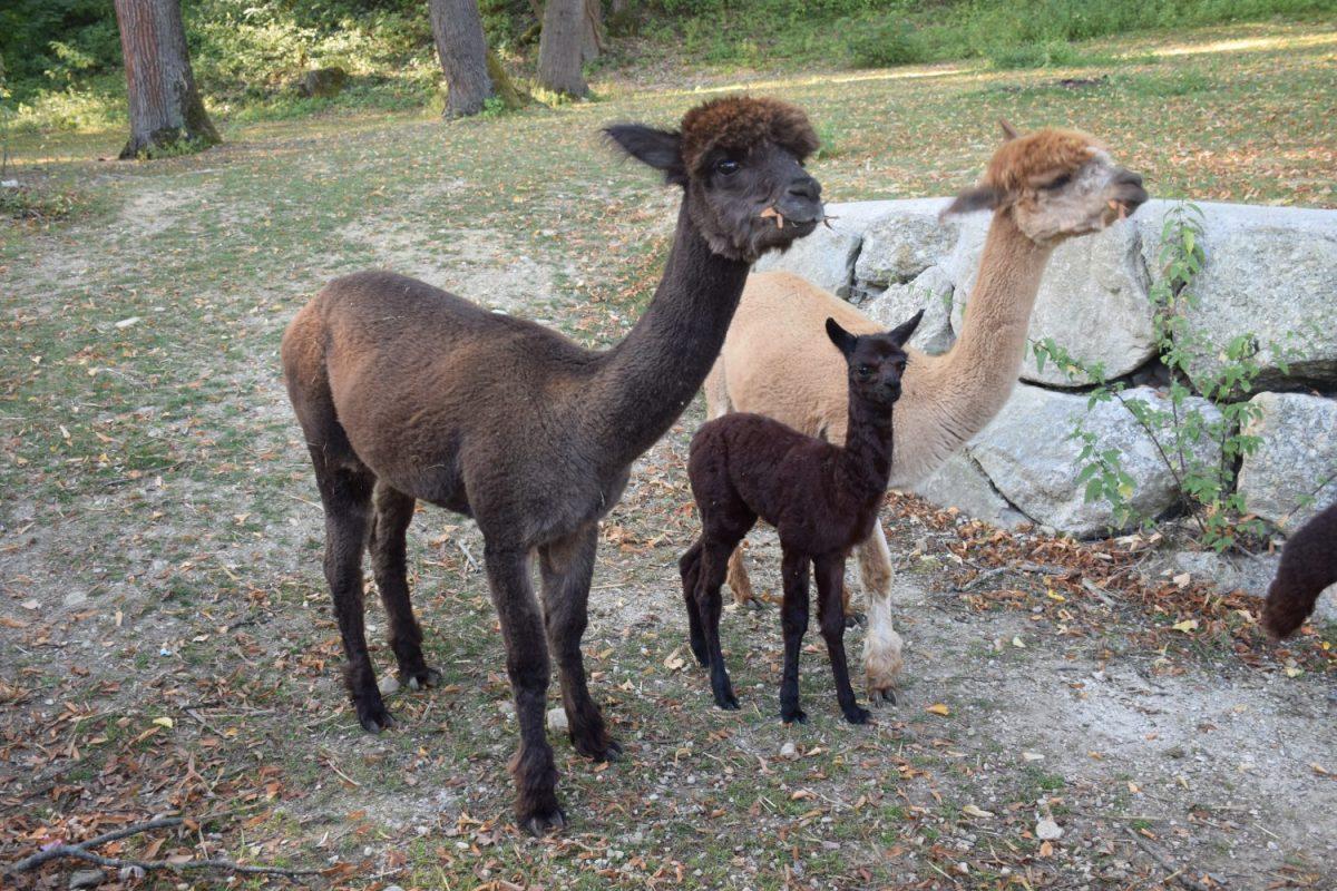 Alpakafamilie