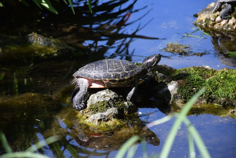 Rotwangen-Schmuckschildkröte