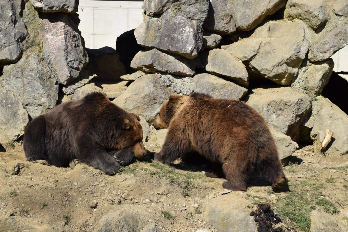 Braunbären Loona und Dakota