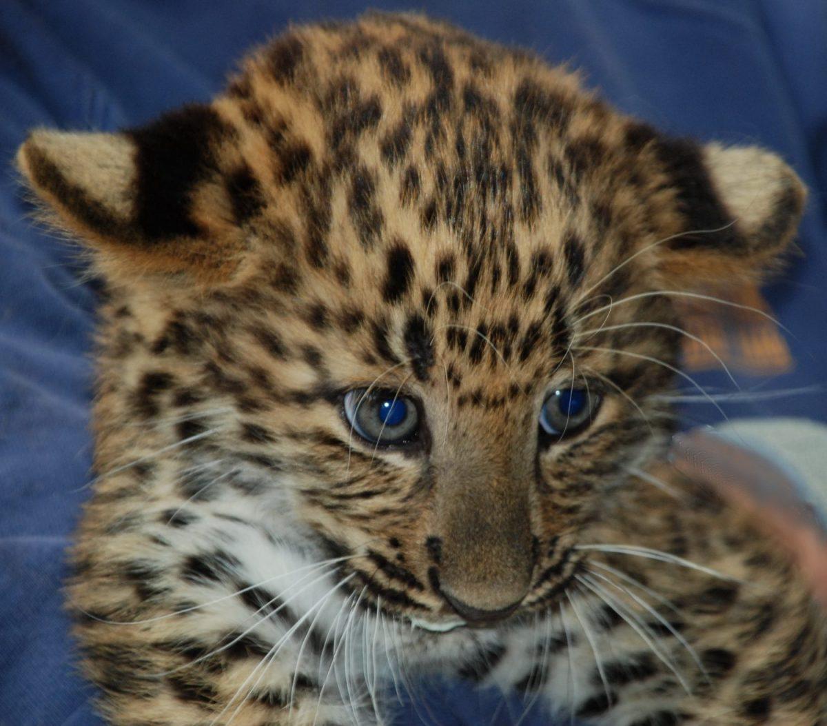 Tierpatenschaft Leopard SKAFTI