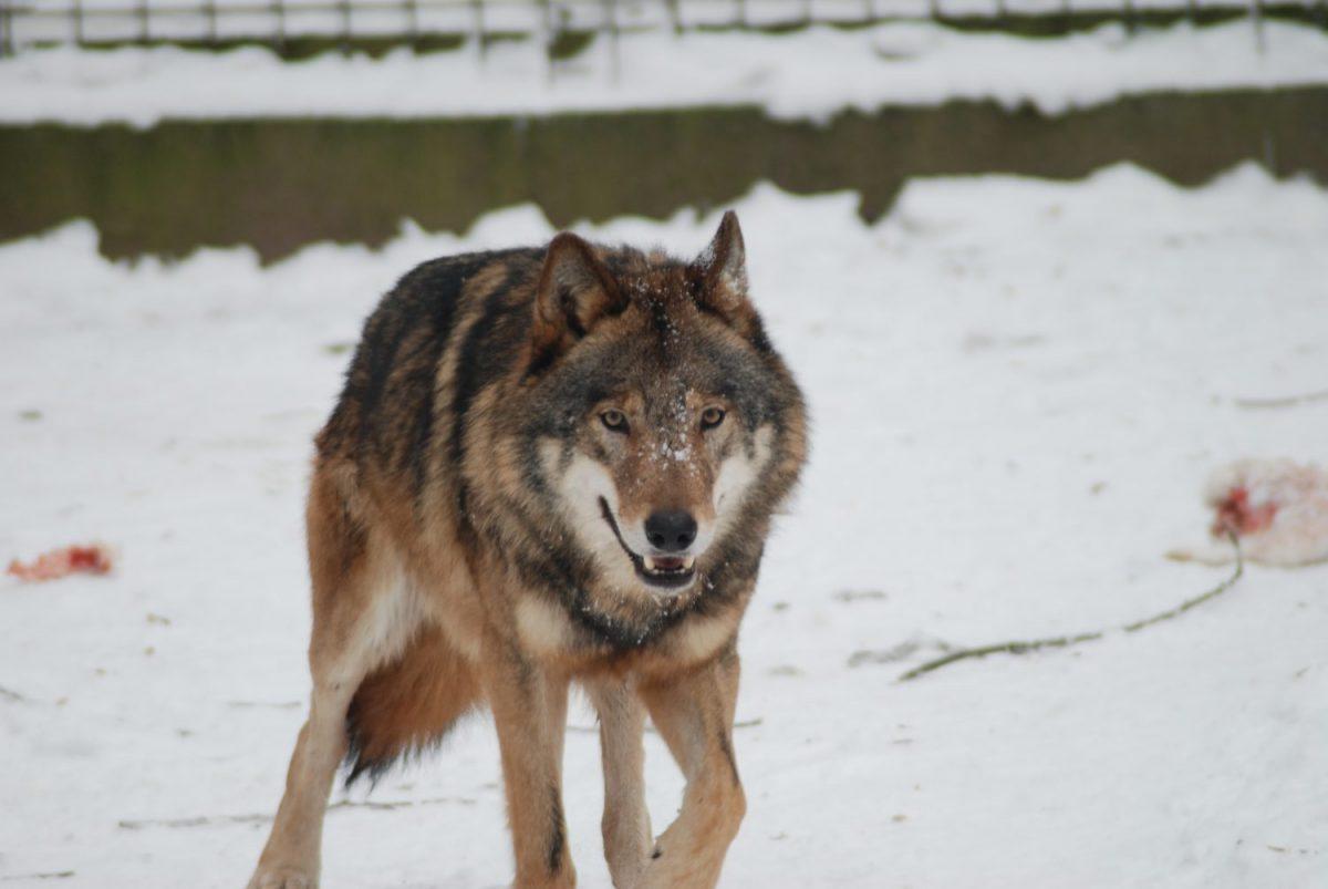Tierpatenschaft Wolf Hagen