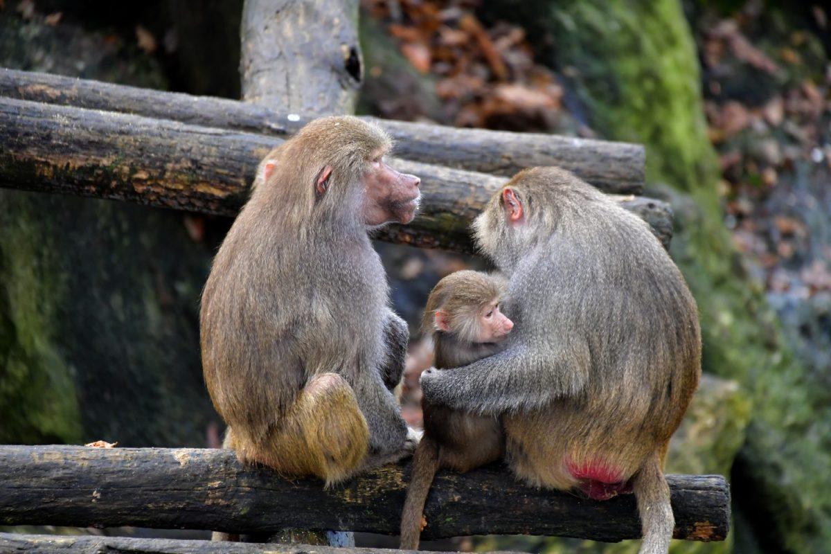 Pavianfamilie