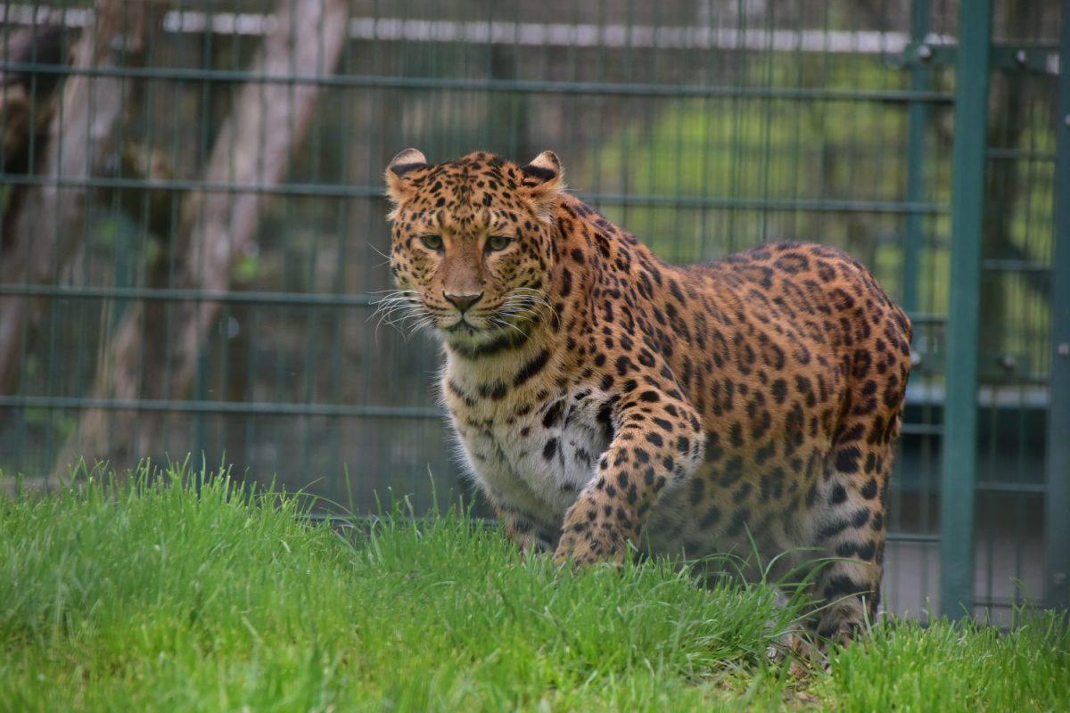 DSC_3012_Leopard