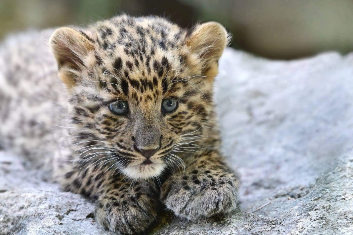 Leopardenjunges © Tierpark Stadt Haag / Petra Urbanek, Wien