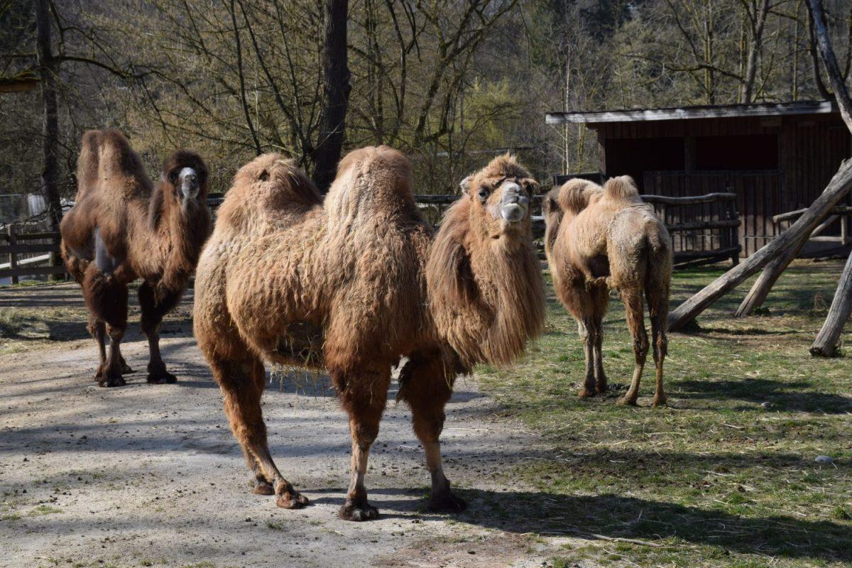Kamelmfamilie - DSC_0998
