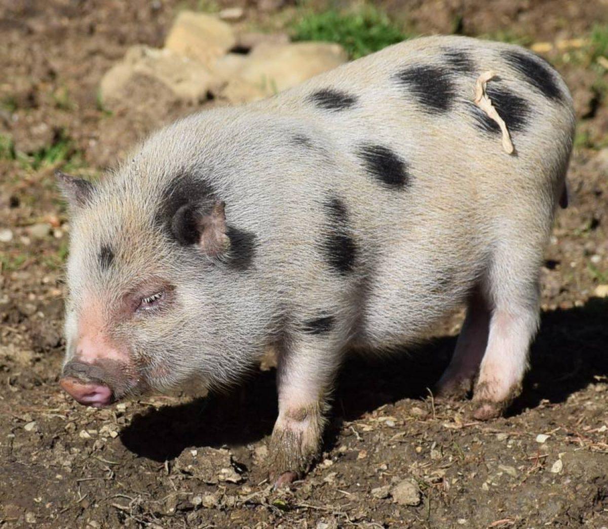 Minischwein Holly