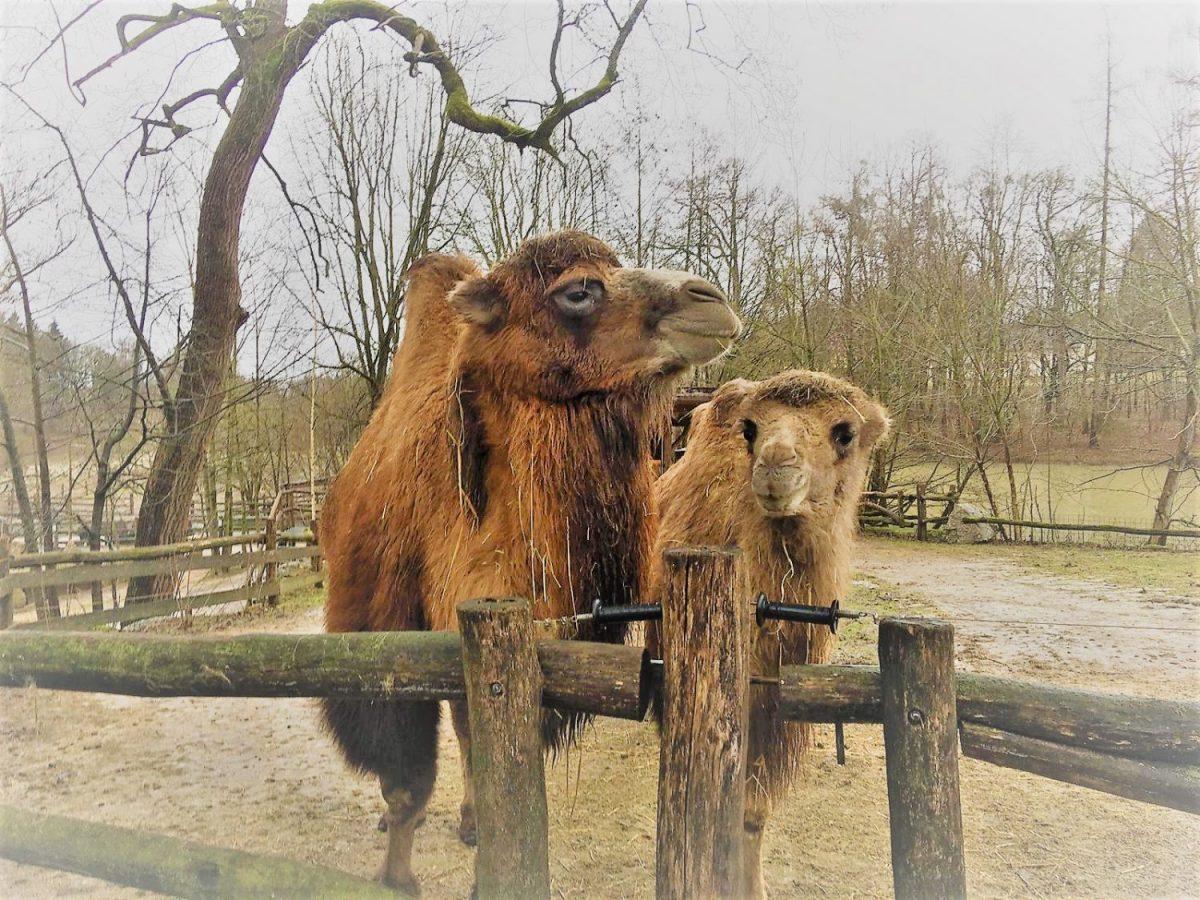 Kamele © Tierpark Stadt Haag
