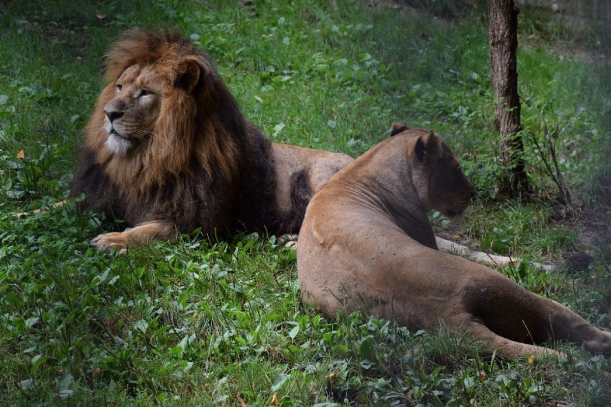 Löwen-Patronanz