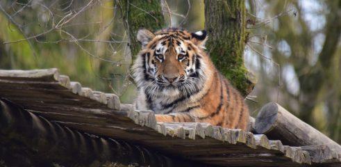 liegender Tiger