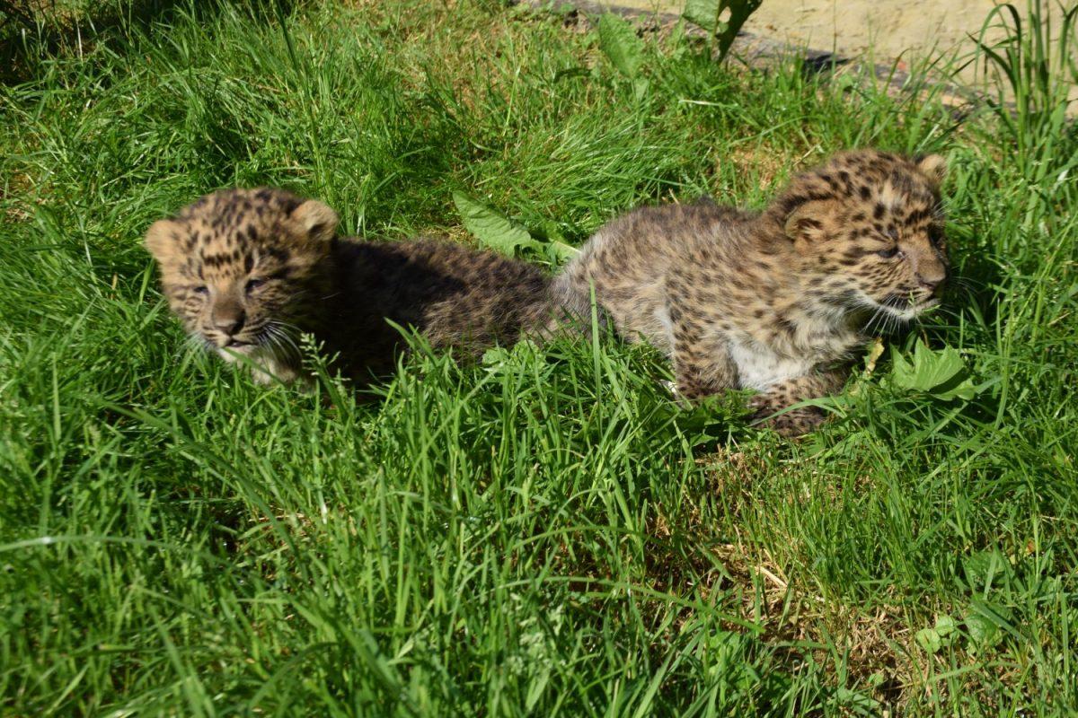Zwei Leopardenbabys